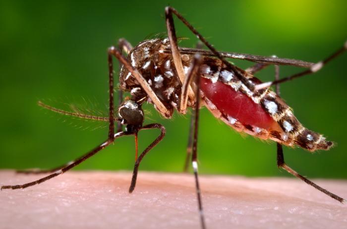 Figure 1. Moustique Aedes aegypti femelle