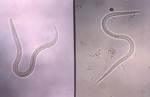 Figure 6. Ankylostome (à gauche) et larve filariforme Strongyloides au stade infectieux (à droite)