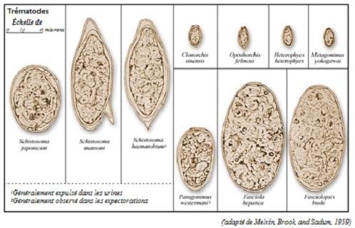 Œufs de trématode découverts dans des échantillons de selle humaine